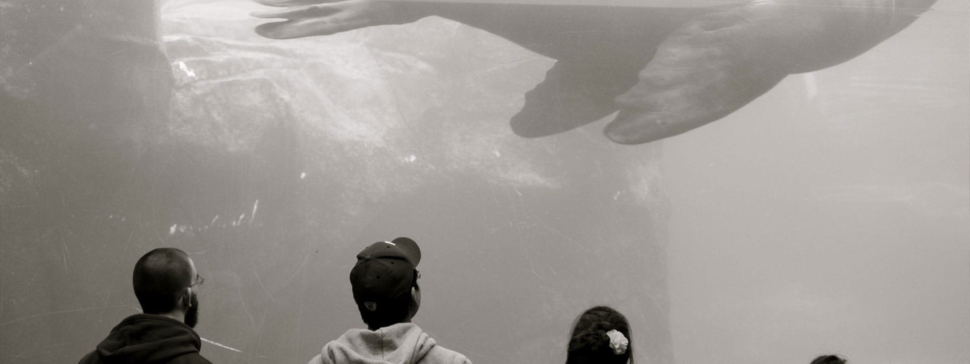 Four people looking up at a sealion swimming by inside an aquarium tank. Original photo by Valerie Thomas.